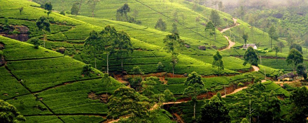 Sri_Lanka_Nuwara_Eliya_Tea_Plantation_1150X460